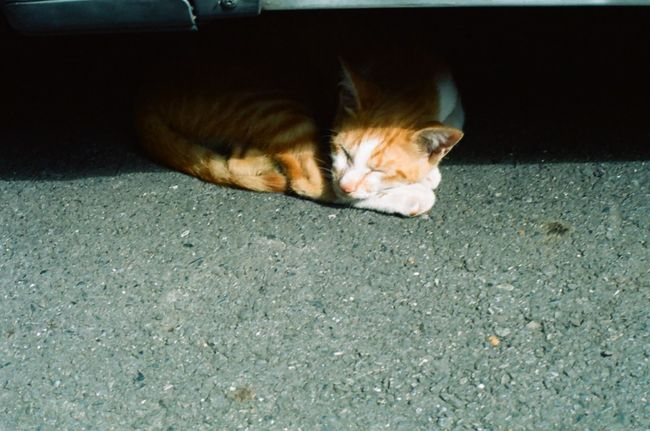43 Golden Moments Alley Cat Animal Animal Head  Animal Themes Cat Domestic Animals Domestic Cat Feline Golden Slumbers Lying Down Pets Portrait Relaxation Resting Streetphotography Whisker 街貓 Showcase June