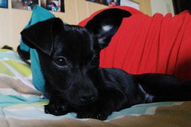 Dog Puppy❤ Puppypower My Puppy Dog(: Ilovemypuppy Puppylife Puppy Love ❤ Puppydog Loving Life! Layingdown