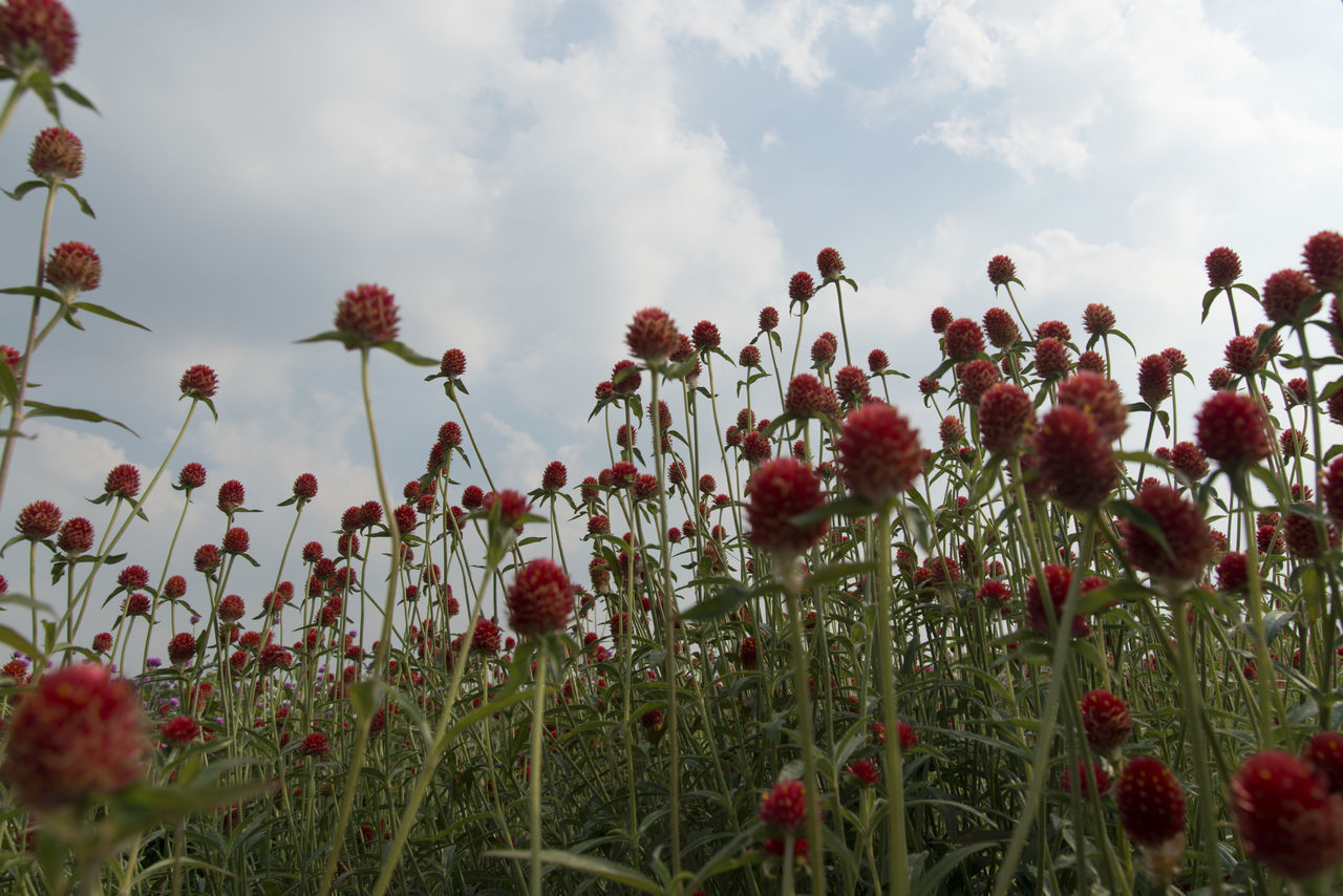festival of globe amaranth flower with bellvedere at Nari Park in Yangju, Gyeonggido, South Korea Globe Amaranth Flower Beauty In Nature Blooming Close-up Cloud - Sky Day Field Flower Flower Head Fragility Freshness Globe Amaranth Grass Growth Nature No People Outdoors Petal Plant Poppy Red Sky Tranquility