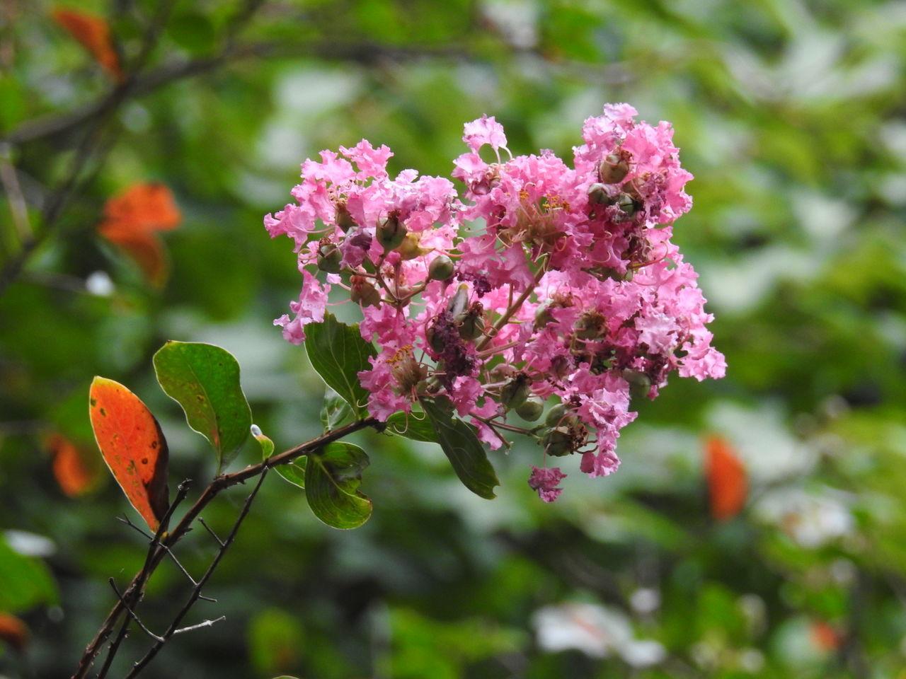 百日紅の花まだ頑張ってた😄 Flower Beautiful Relaxing Autumn🍁🍁🍁 Pink Color Beauty In Nature EyeEmFlower EyeEm Gallery Flowerporn Kitakyushu Mytown Japan