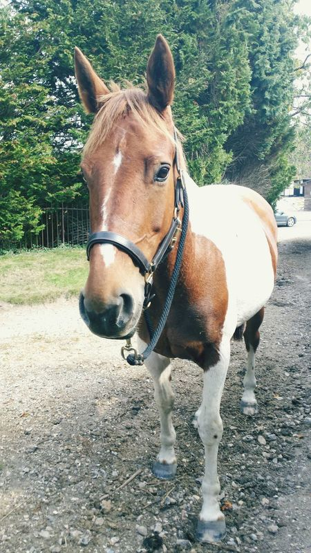 Gorgeous Dottie Irish Sports Horse