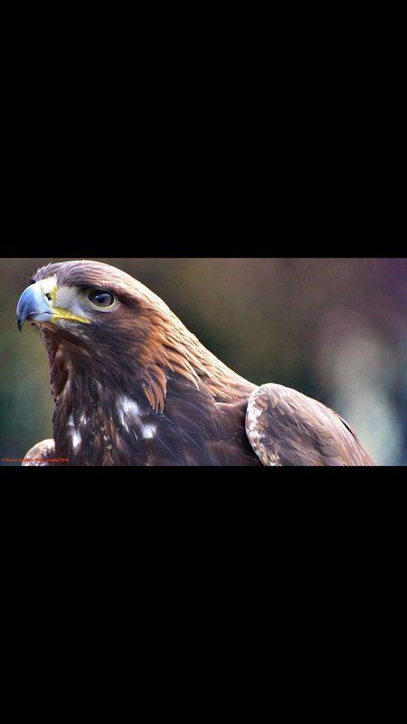 Golden Eagle Portrait Bird Of Prey Nature Wildlife & Nature Trevor Boulton