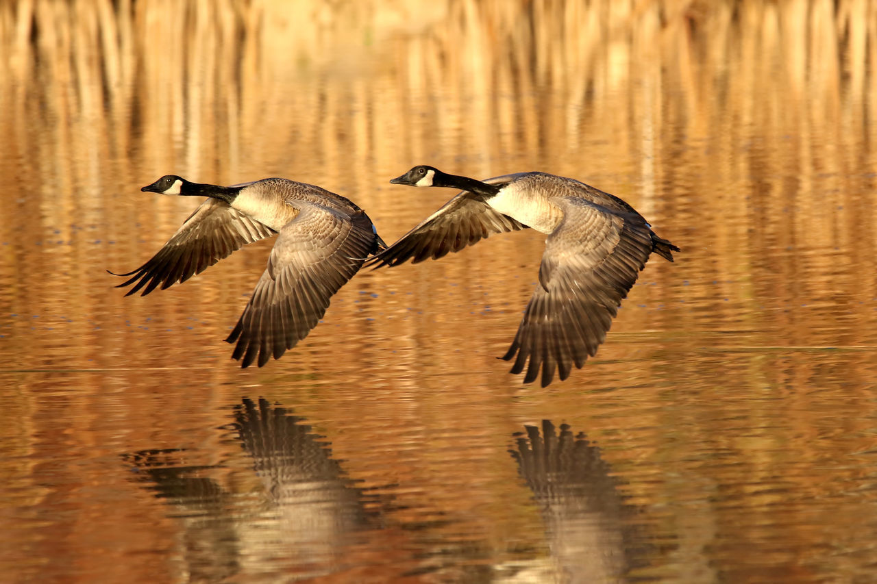 Mirror Image Animal Themes Animal Wildlife Animals In The Wild Bird Day EyeEm Nature Lover Geese Lake Low Flying Motion Nature No People Outdoors Reflection Spread Wings Surnrise Water Waterfront