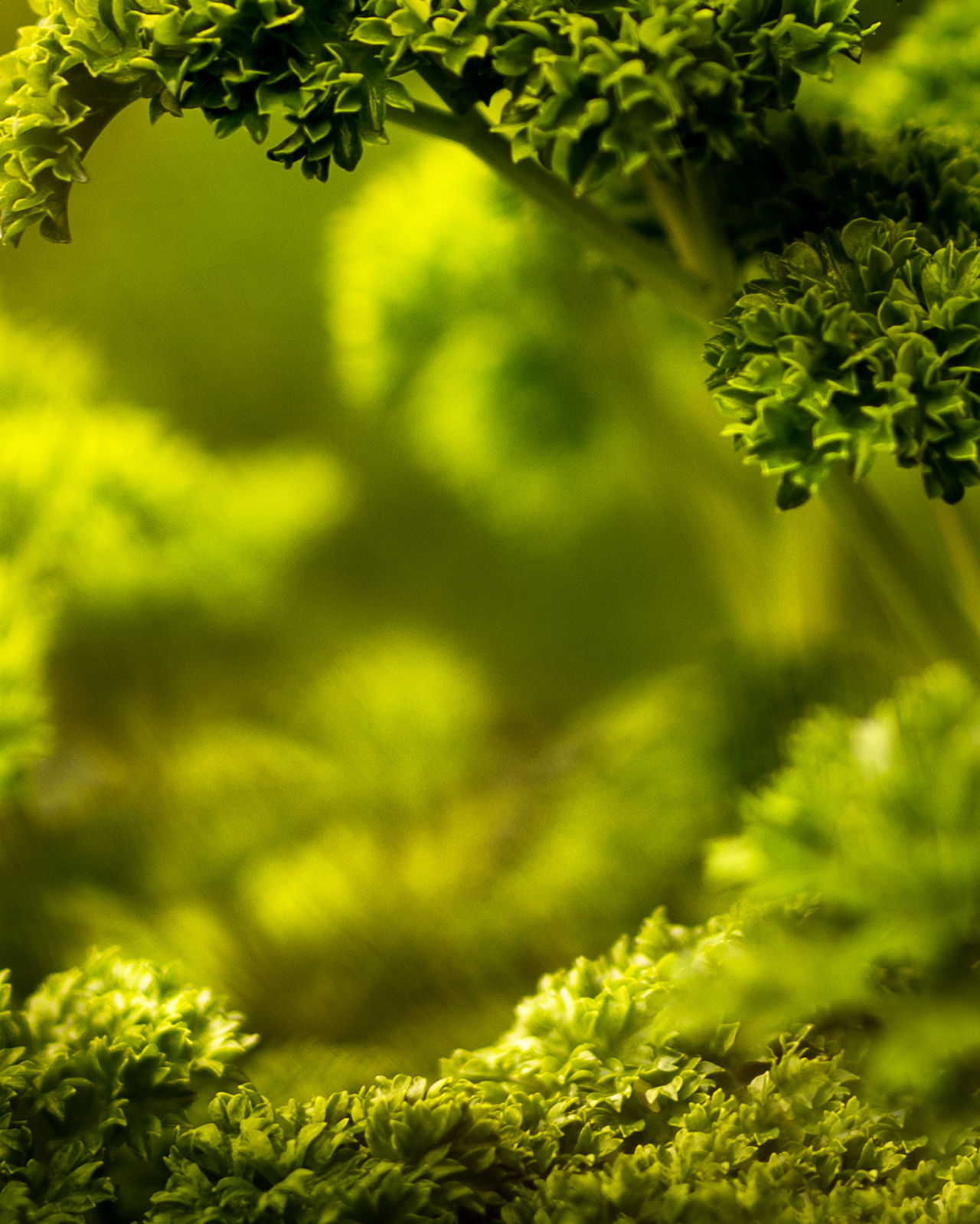 Beauty In Nature Freshness Green Green Color Nature Outdoors Parsley Plant