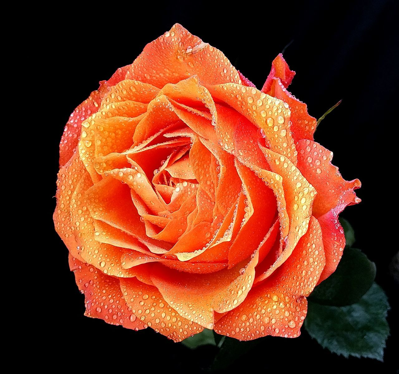 Beauty In Nature Close-up Flower Flower Head Gentle Rose Nature Orange Rose Water Drops