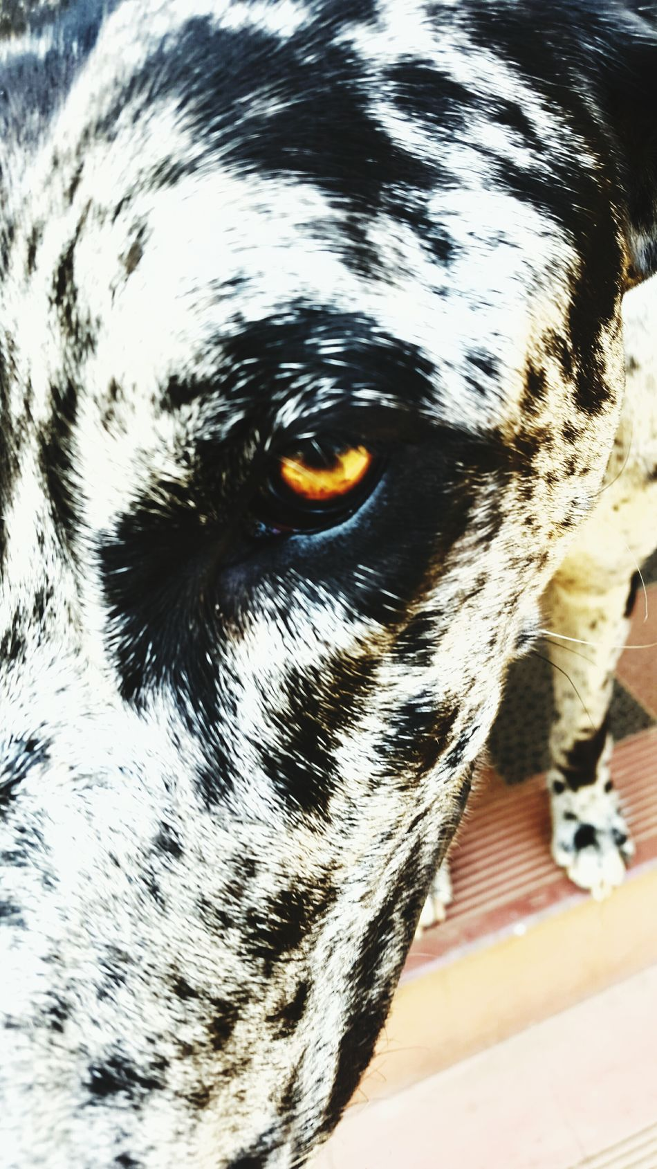 Beautiful stock photos of great dane, Animal Themes, Black Color, Close-Up, Day