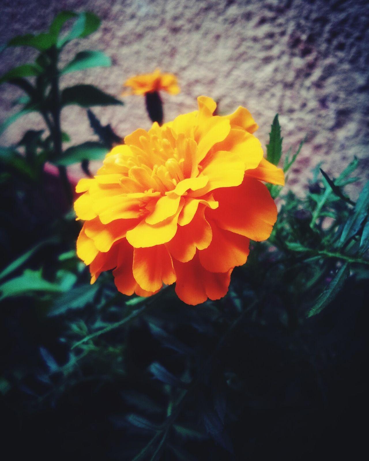 La belleza en naranjo (=^--^) Orange Flower Simple Nature Justlikethat Beautiful Flor Caminando Belleza