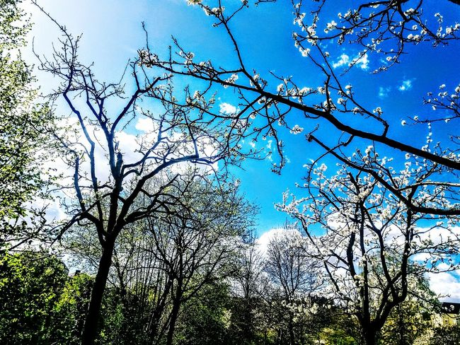 spring landscape with white blossoming trees and blue skies. Nature Tree Sky Low Angle View Growth Blue Outdoors No People Branch Beauty In Nature Sunlight Clear Sky Tranquility Backgrounds Spring Has Arrived Spring Photography Spring Landscape Spring 2017 Beauty In Nature