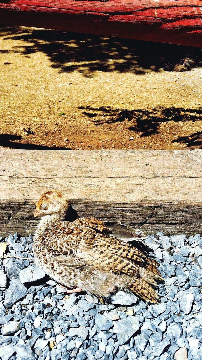 It looks dead, but I swear it really is just sleeping Sleeping Bird Sun Rocks Summer Petting Zoo Sleep Fresh On Eyeem