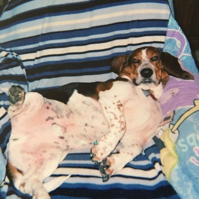 My Auggie Babypictures Enjoying Life Check This Out Ilovebassethounds Bassetworld Bassetmoments Bassetphotography Posing For The Camera Cheese! Angelwatchingoverme Leftforrainbowbridge Firstbassethound
