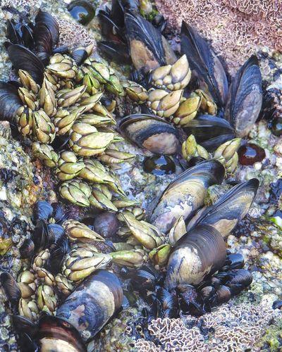 Delicias y pesares....🙈 Mariscos Frescos Abundance Day Outdoors No People Beach Nature Close-up Percebes Mejillones Marisco Frutos Do Mar EyeEmNewHere Summer2017