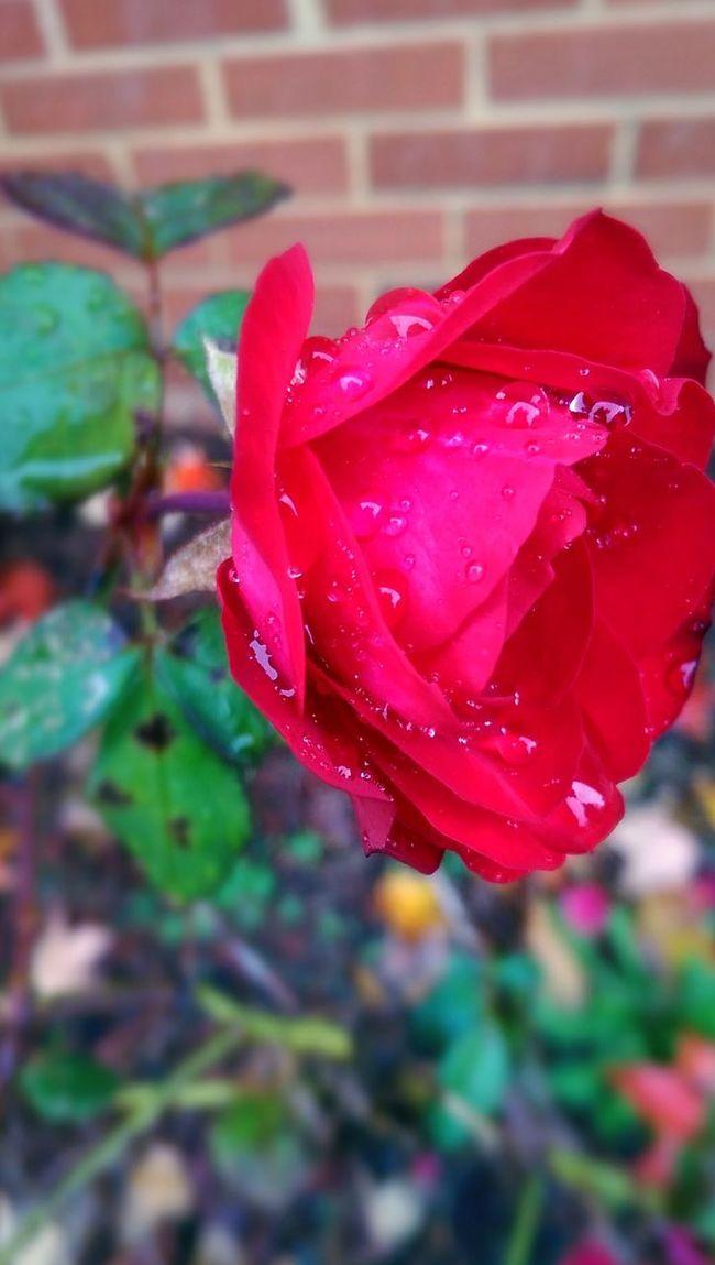Rain Wet Roses Rose🌹 Rosé DeadRoses Nature Beautiful Beauty Red Focus Natural Flower Flowers