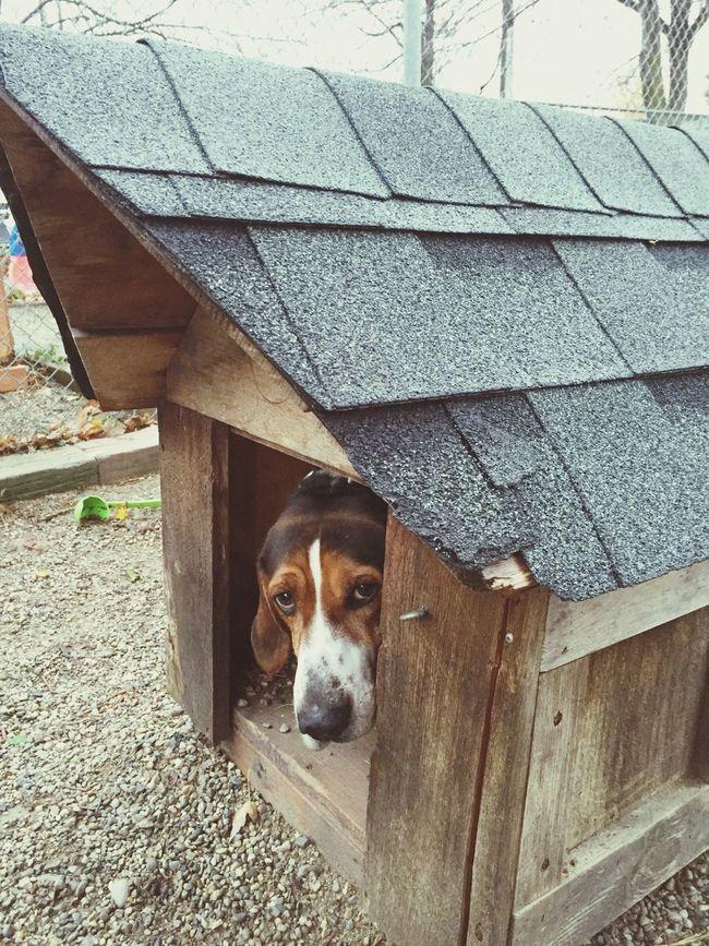 Hiding from the rain Doghouse Dog Hound Shelter AdoptDontShop Hiding Peeking Sadeyes Puppy Dog Eyes Shelterdogs