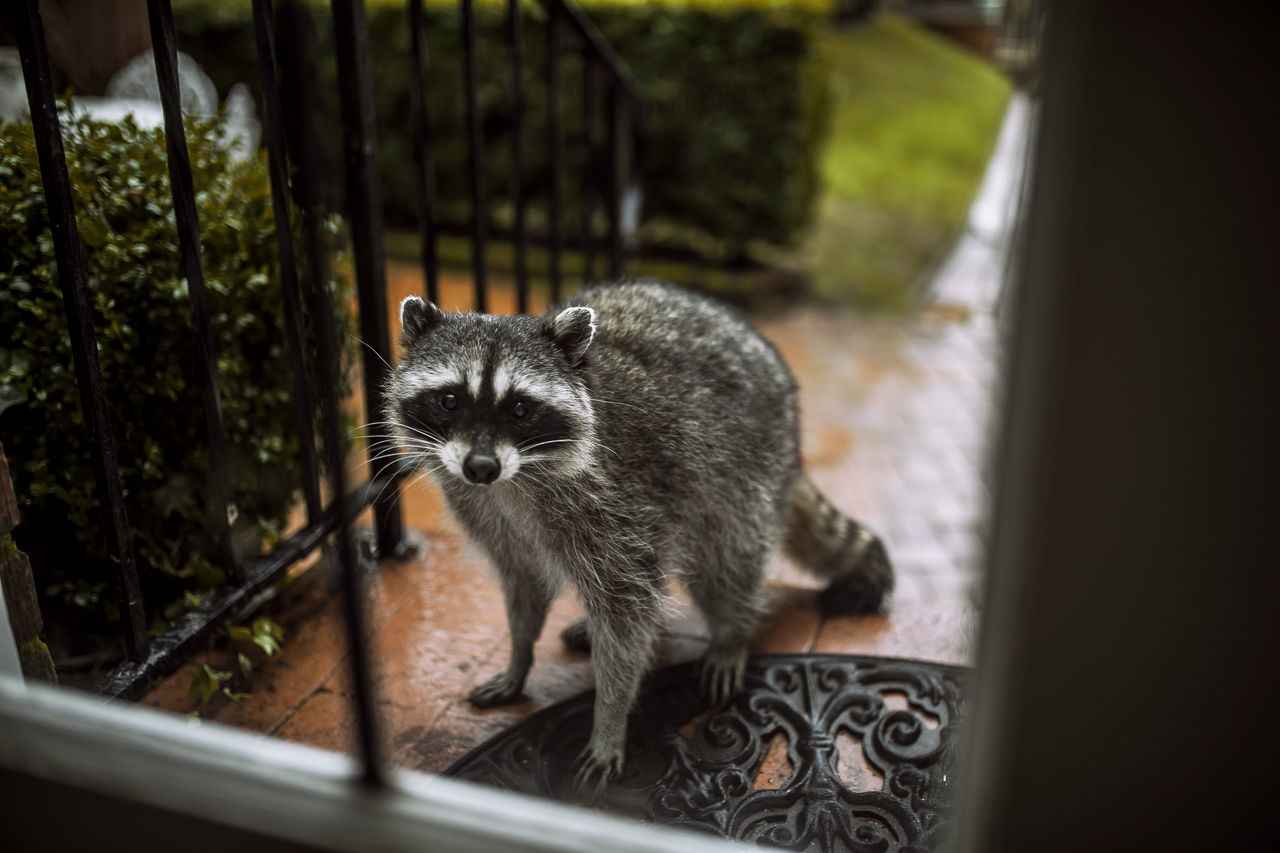Beautiful stock photos of raccoon,  Animal Themes,  Close-Up,  Day,  Horizontal Image