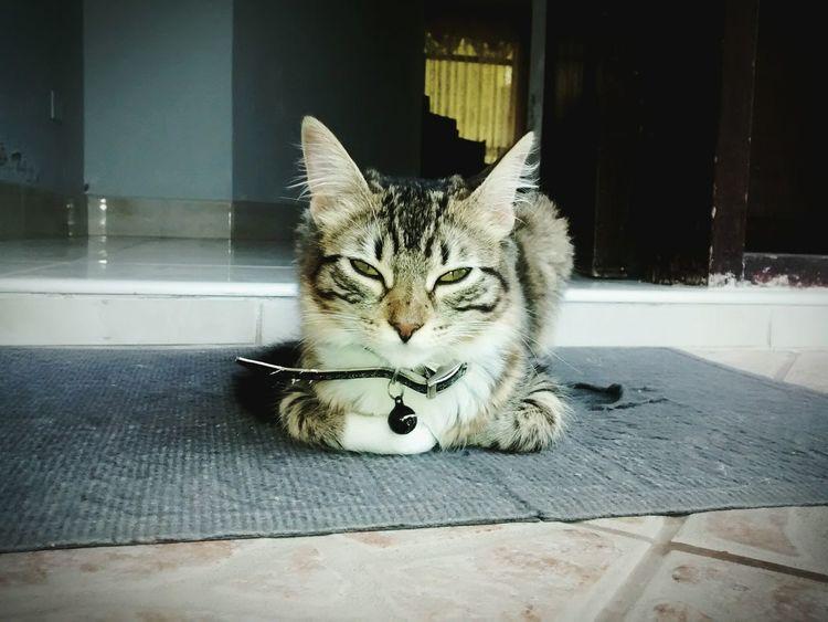 Pet Photography  Cat Chilaxing  Motorolamotog
