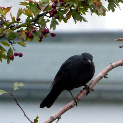 Na..nix Zu Tun? Nothing To Do?🤣 Bird Eberesche Animal Wildlife Close-up View From My Window Nature Rowanberry Rowan Tree Beauty In Nature Blackbird In Tree Branch Enjoying The View My Soul's Language Is📷 For My Friends 😍😘🎁 Autuumbeauty🤗 You Raise Me Up✨ The Week On EyeEm Happy Monday🙋‍♀️blackbird in a rowan