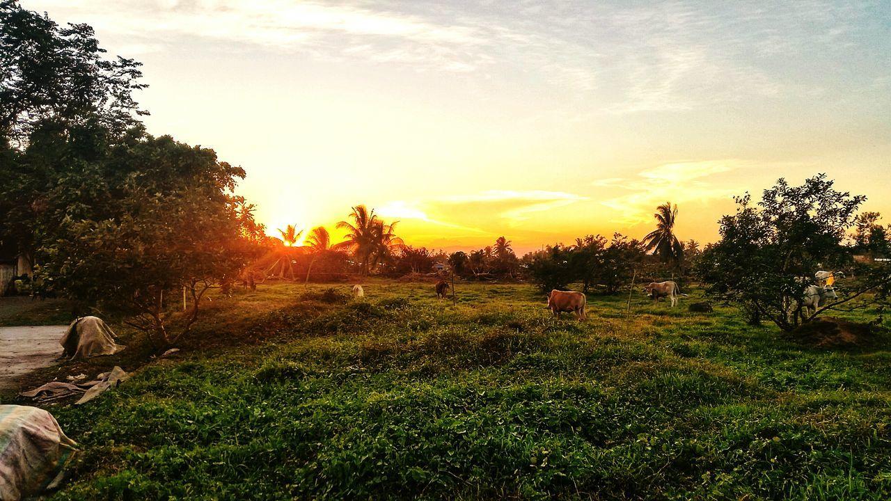 Idyllic Rural Scene At Sunset