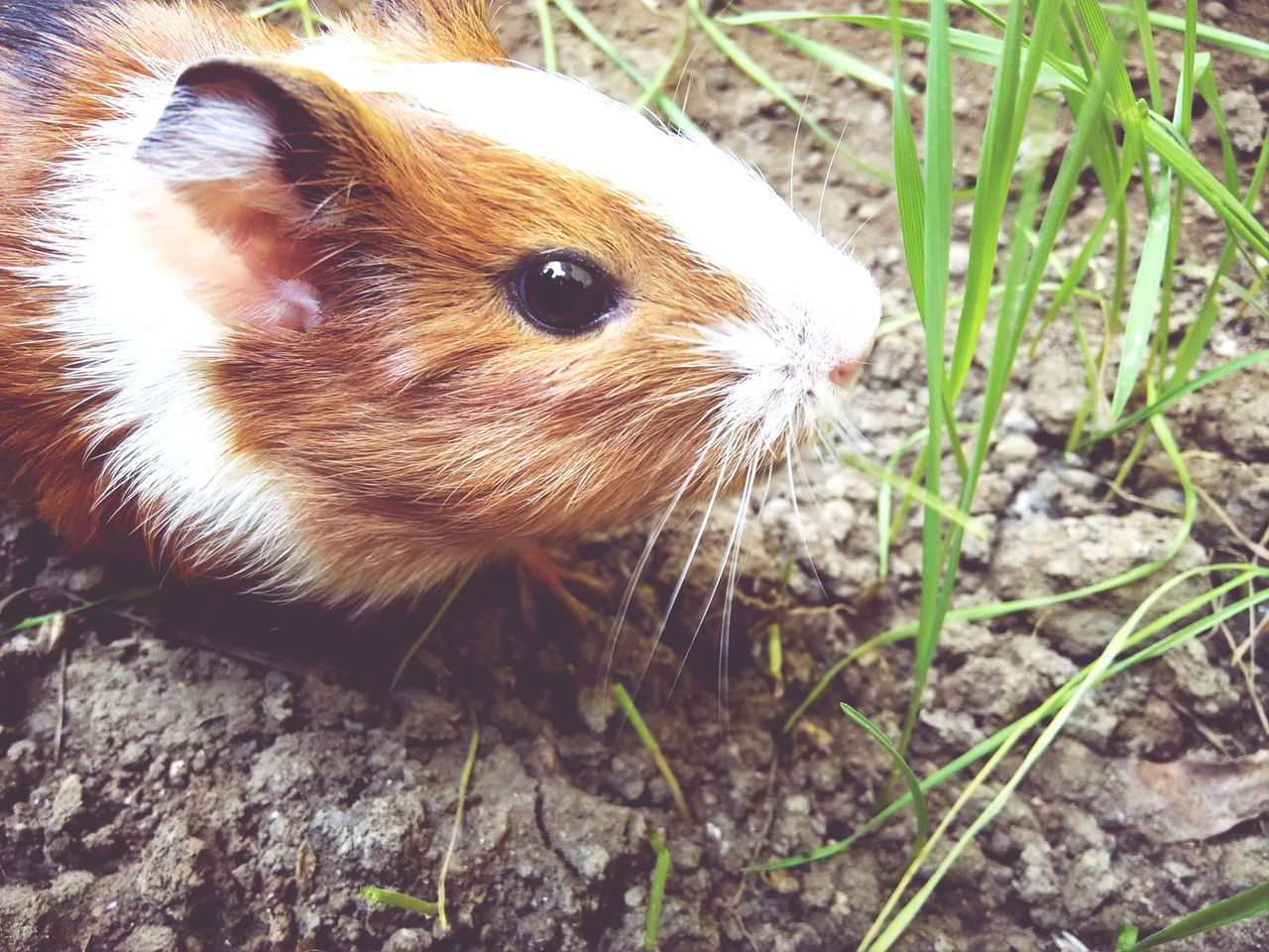 Beautiful stock photos of hamster, Animal Themes, Beauty In Nature, Day, Dirt