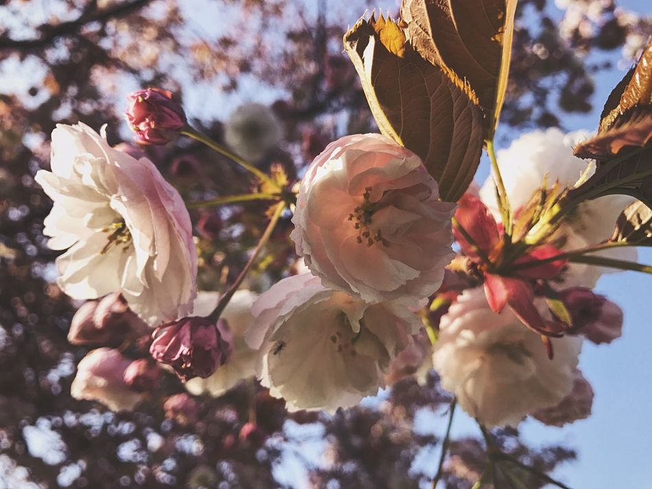 Growth Nature Beauty In Nature Tree Freshness Flower Fragility Close-up Petal No People Outdoors Sunlight Springtime Day Blossom Plant Low Angle View Flower Head Plum Blossom Sky Nature Nature_collection Nature Photography Nature On Your Doorstep EyeEm Nature Lover