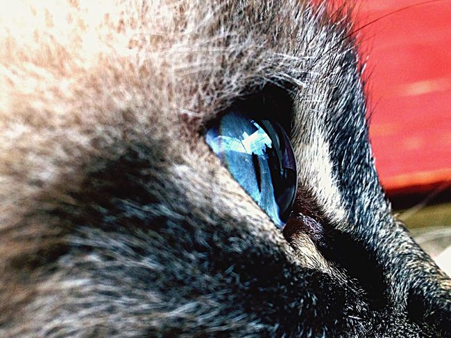 Animals Pet Cat Eye Favorite Animal Blue Eyes Cats Eyes Mirror Picture Macro Beauty Animal Photography Pet Photography