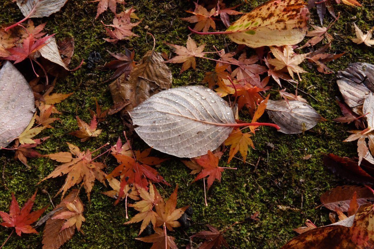 Japan Photography Leaf Autumn Leaves Nature Fallen Leaf Nature Fujifilm_xseries Autumn X-PRO2 Japan Wabi-sabi Beautiful Nature Beauty In Nature Eyemphotography Fujifilm EyeEm Best Shots EyeEm Gallery EyeEm Best Edits Orange Color