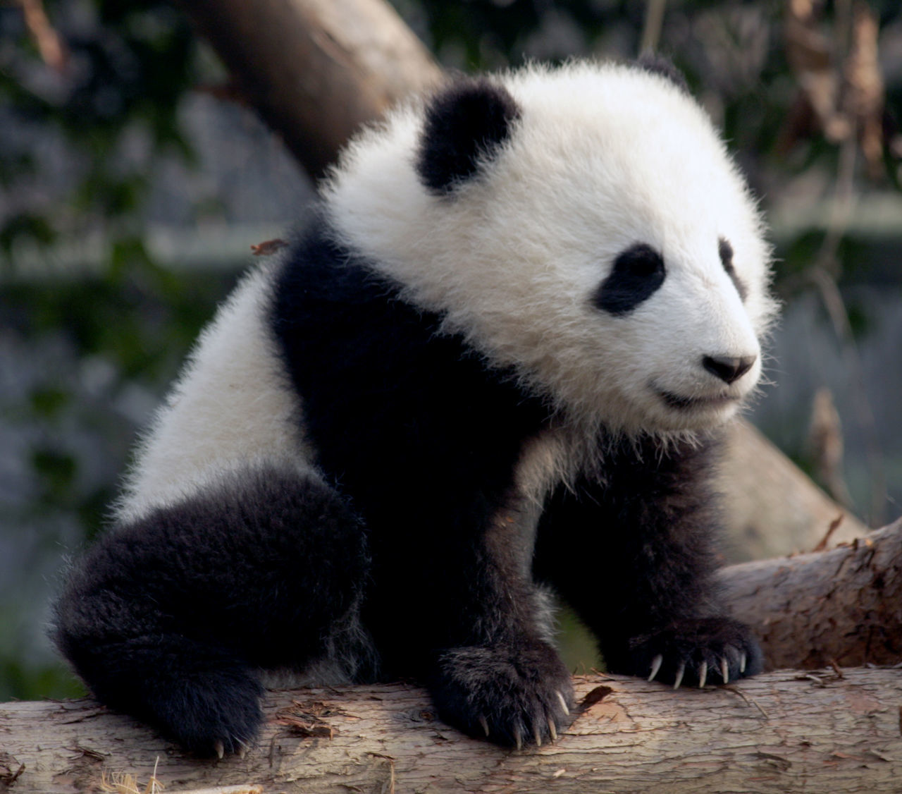 one animal, bear, animals in the wild, mammal, panda - animal, animal themes, giant panda, panda, wildlife, no people, focus on foreground, animal wildlife, close-up, day, endangered species, outdoors, sitting, nature