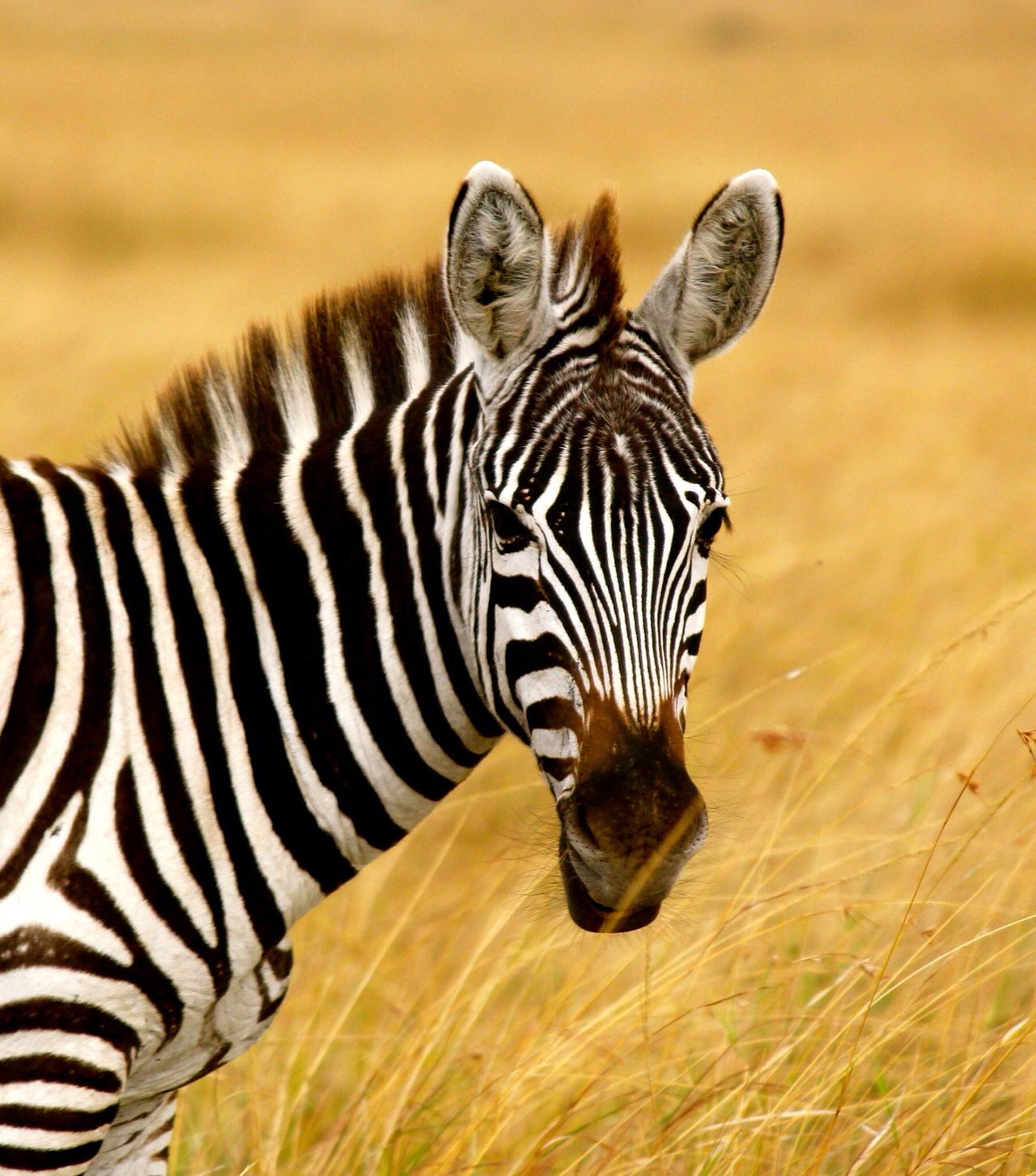 Beautiful stock photos of zebra, Animal Themes, Animals In The Wild, Day, Grass