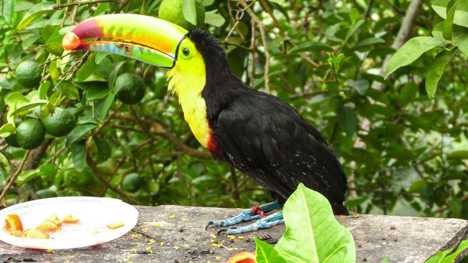 Animal Themes Animal Wildlife Animals In The Wild Beak Bird Day Macaw Nature No People One Animal Outdoors Perching Tree Tucan