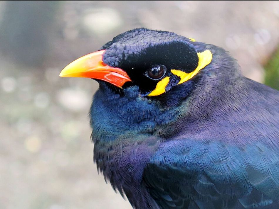Beo Bird Photography Colorful For The Love Of Nature Animal Love Birds Lover Feathers Of A Bird Animals