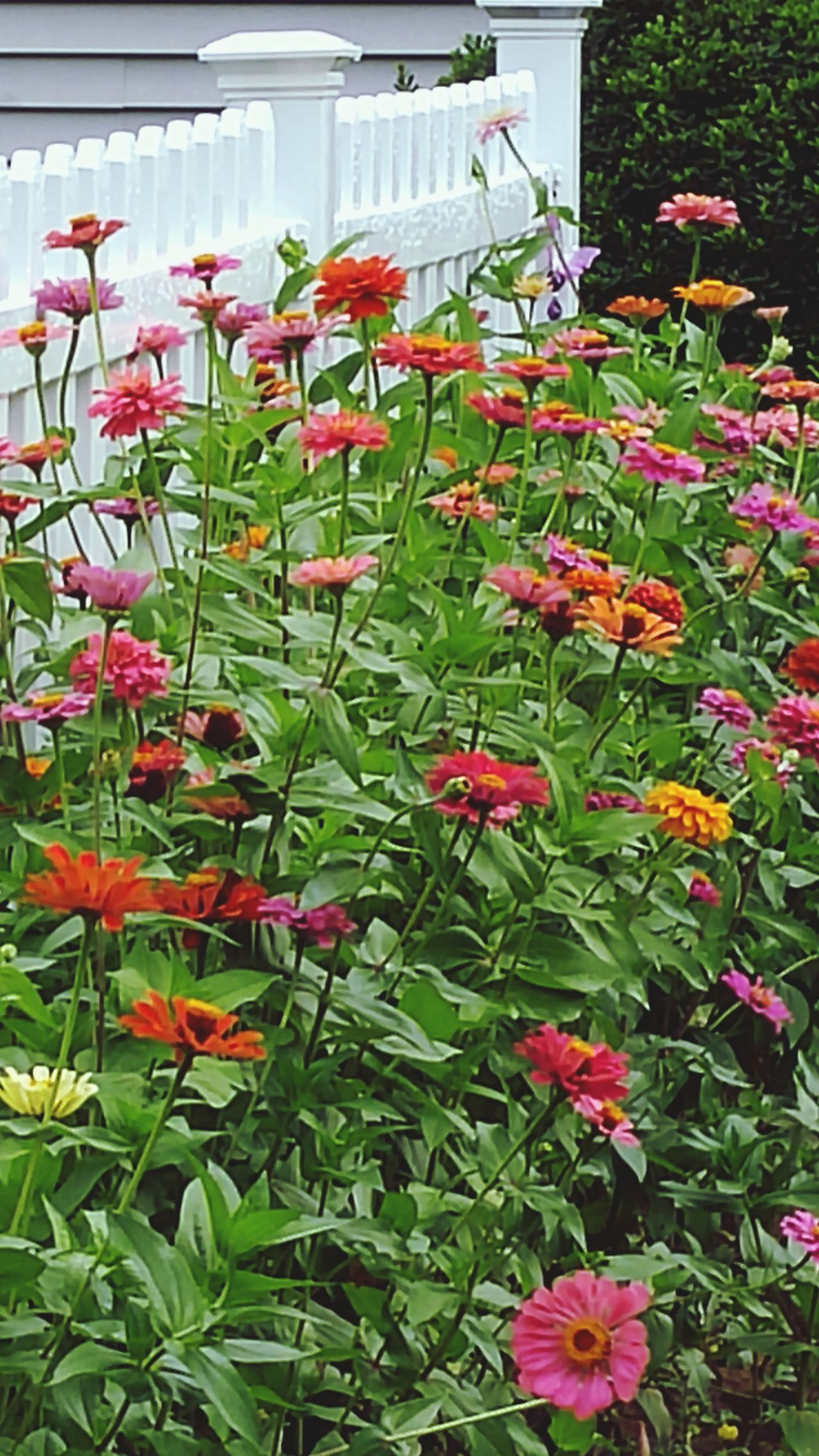 Zinnias Flowers My Garden @my Home Flower Collection Flower Porn Beautiful Flowers God's Beauty