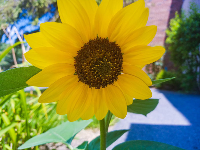 Flower Summer Close-up Sunflower No People Day Growth Beauty In Nature Fragility Petal Flower Head Plant Yellow Freshness Nature Blossom Outdoors Selective Focus Syracuse  Check This Out Samsung Galaxy S7
