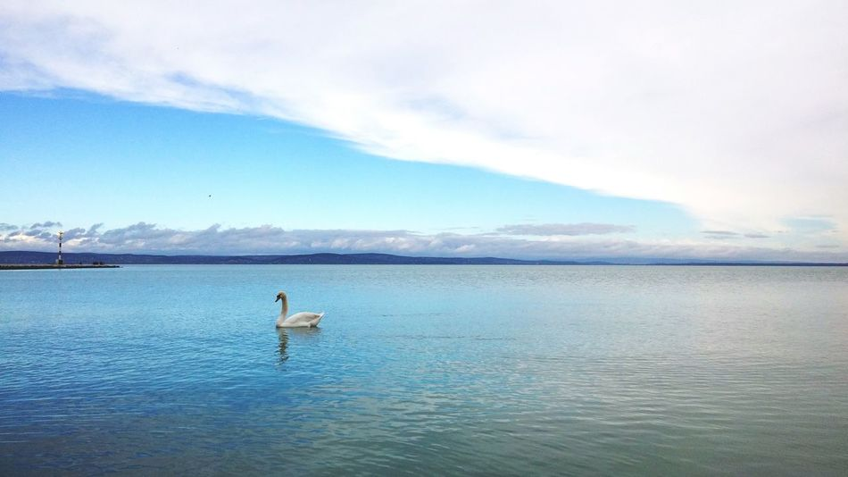 Balaton Hungary Lake Lake View Swan Blue Blue Sky Blue Water Quiet Moment Water Bird Golden Section Clouds Clouds And Sky