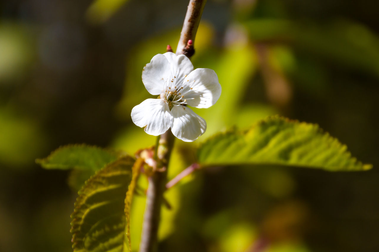 Budding Blossom Beauty In Nature Blossom Blurry Background Budding Blossom Cherry Blossoms Close-up Day Flower Flower Head Focus On Foreground Fragility Freshness Growth Nature No People Outdoors Petal Plant Seasons Spring