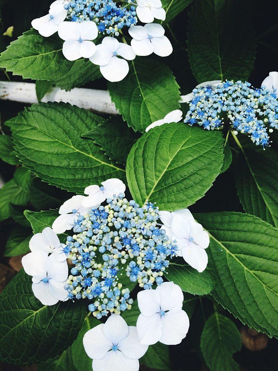 Hydrangea EyeEm Best Shots Japan Flower