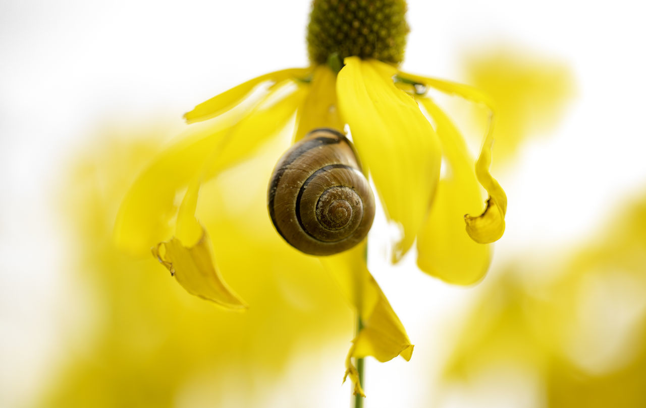 Animal Themes Animal Wildlife Animals In The Wild Beauty In Nature Close-up Day Escargot Flower Flower Head Fragility Freshness Gastropod Insect Macro Photography Nature No People One Animal Outdoors Petal Plant Pollination Snail Yellow