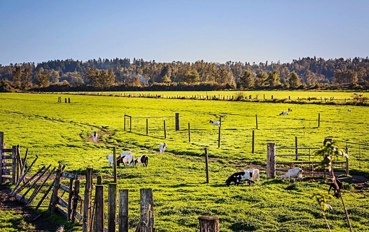 Farm in sunny day. Farm Sunny Day Horses Green Green Green!  Landscape Trees Sunlight ☀ Oxigen Dairymilk Milk