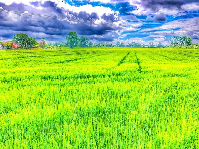 The wind that shakes the barley. Taking Photos Summertime Cropsfield Farmland Countryside Carlow Ireland🍀 Irelandinspires Ireland Lovers Crop Field