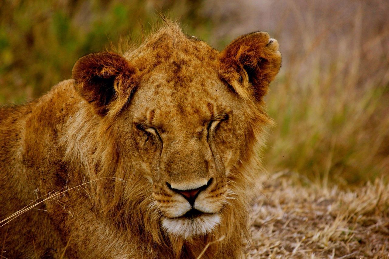Beautiful stock photos of lion, Animal Themes, Animals In The Wild, Day, Eyes Closed