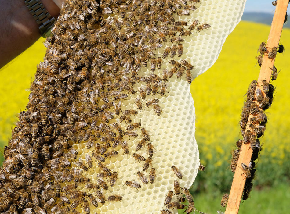 Agriculture Animal Wildlife Animals In The Wild APIculture Bee Beehive Beekeeper Close-up Colony Day Honey Honey Bee Honeycomb Insect Large Group Of Animals Men Nature Outdoors People Rapeseed Field Springtime Live For The Story