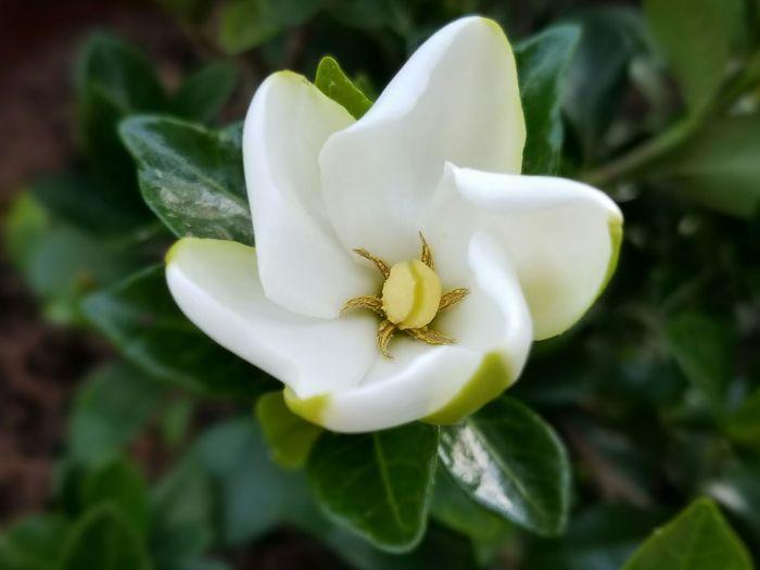 Flowerlovers White Flower Green Leaves Gardenia Gardenia Flower Flower Flowers, Nature And Beauty White Color
