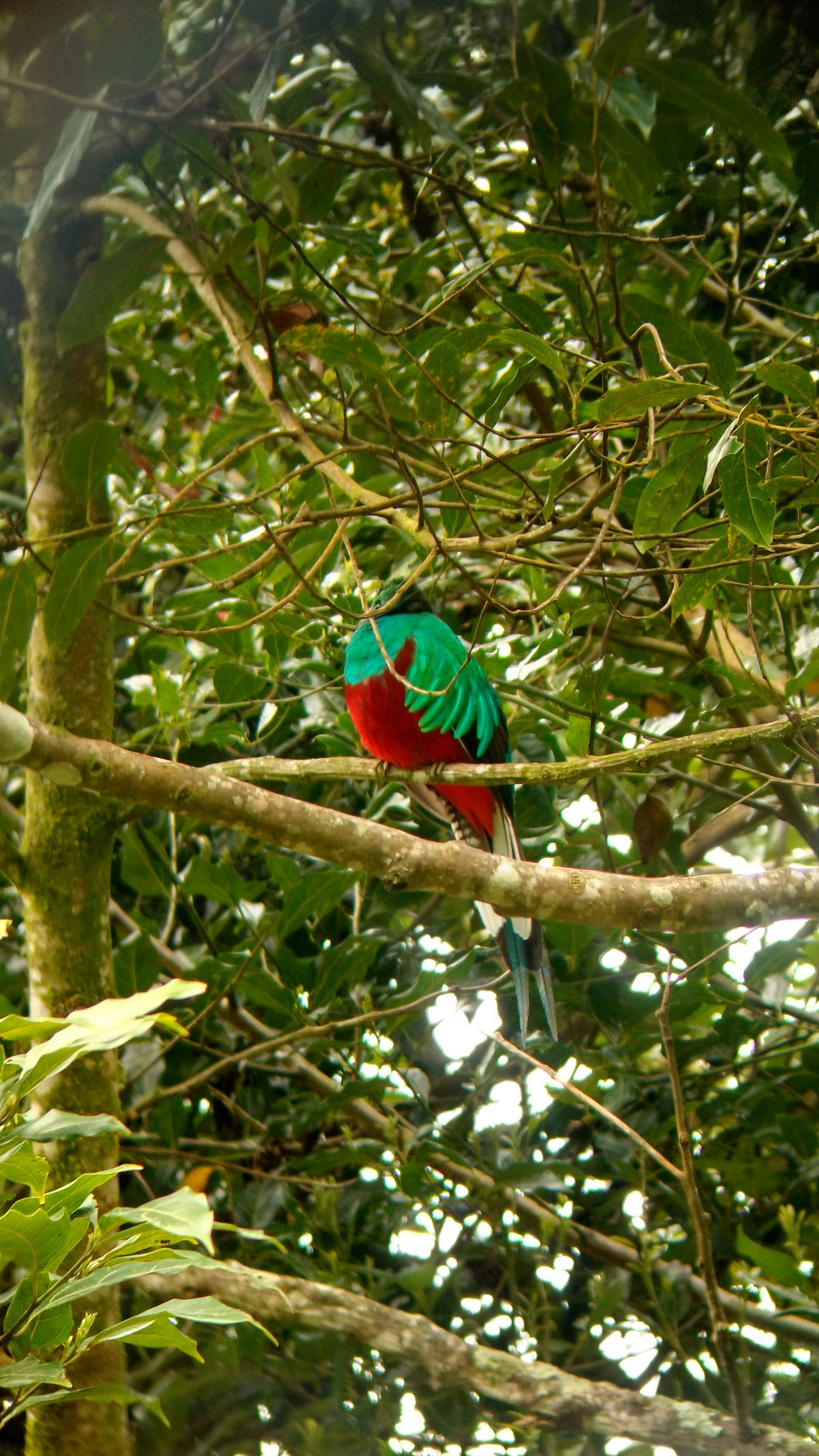 Quetzal Birds Of EyeEm  Bird Bird Photography Birds Birds_collection Birdwatching Bird Watching Nature Photography Nature Naturelovers Nature_collection Animals Animal Animal Photography Animal_collection