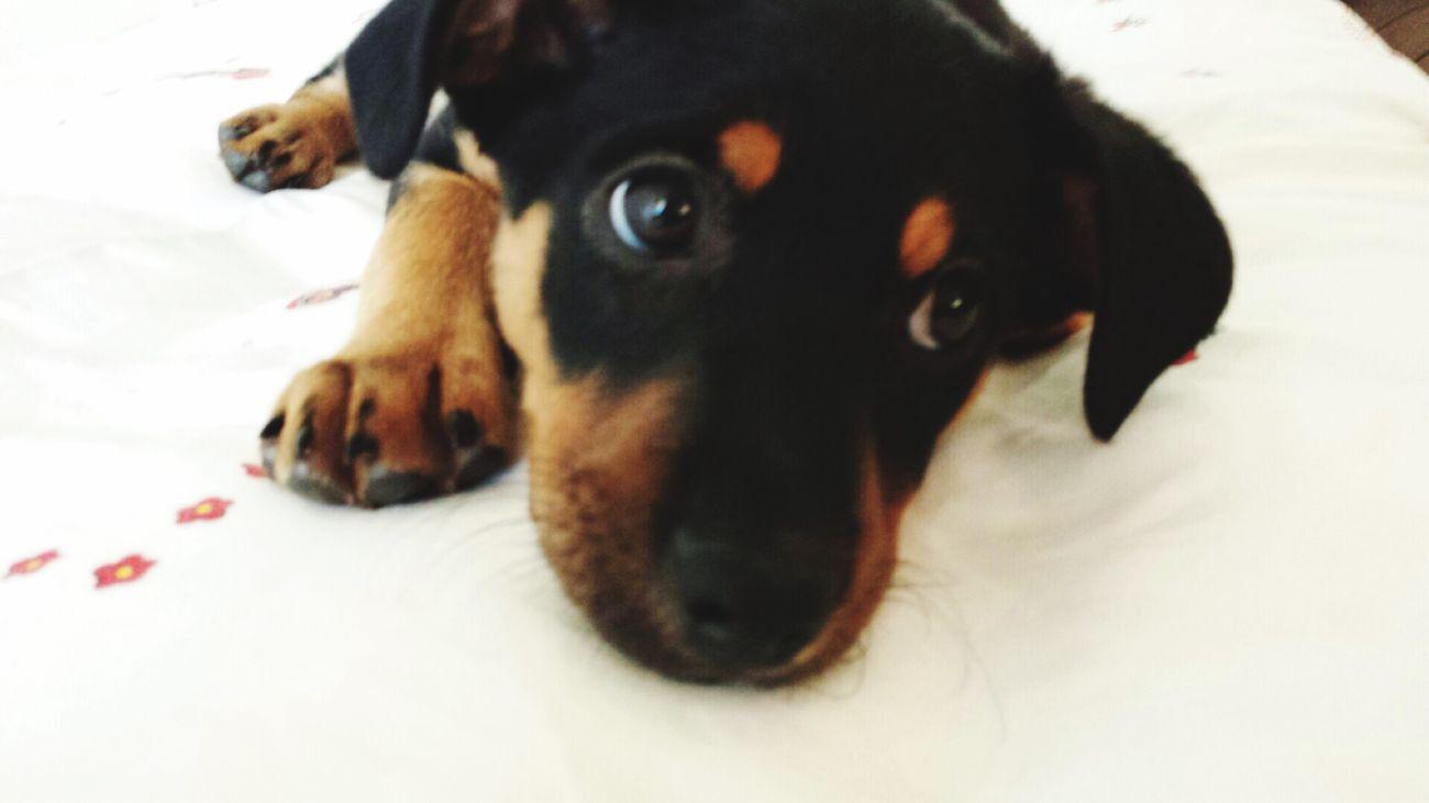Royal Bourbon Dog Babydog Pets One Animal Animal Themes