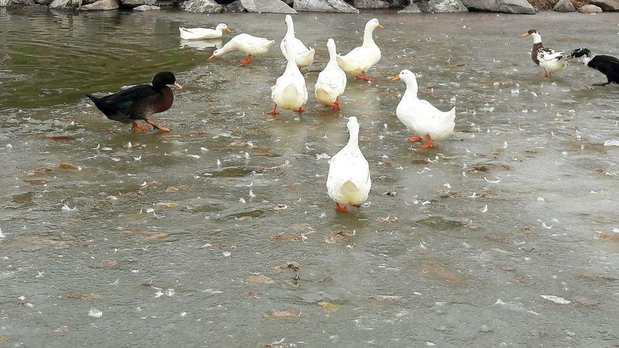 Outdoors No People Nature Adapted To The City Gezinti Ducks Lake Ducks At The Lake Duck In The Lake Ordekler Yürüyüş Buz üstünde Donmuş Göl Donmus Goksugolu Ankara Göksu Park Walking Frozen Lake Ice On The Ice Backgrounds Duck Göl Live For The Story