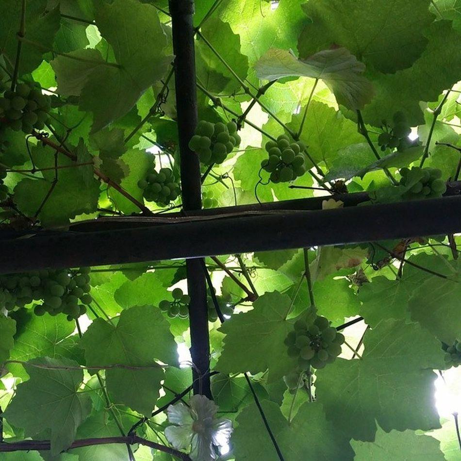 Seratonin'in üzümleri