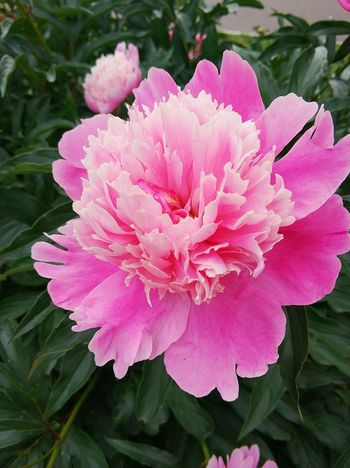 Russia Kolomna Flower Pink Color Beauty In Nature Summer Lies Streamzoofamily Россия Коломна Nature пророда цветы