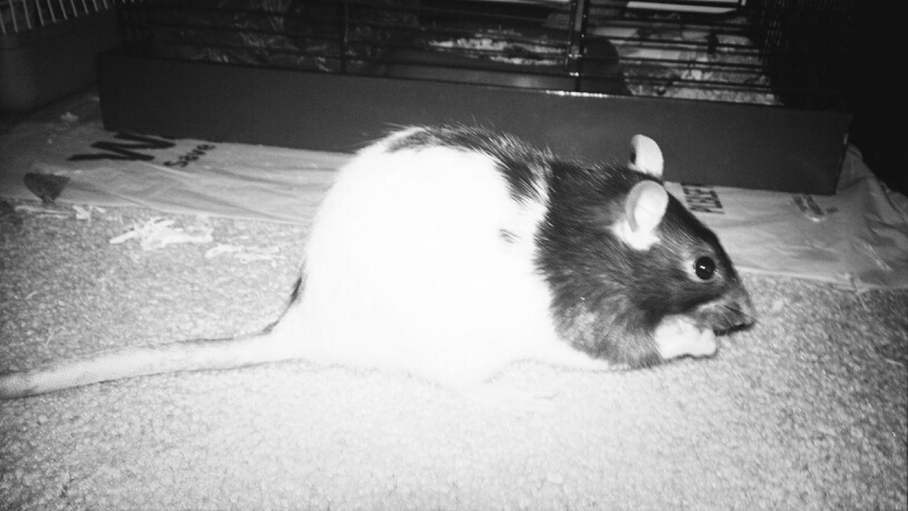 My Baby Rat <3
