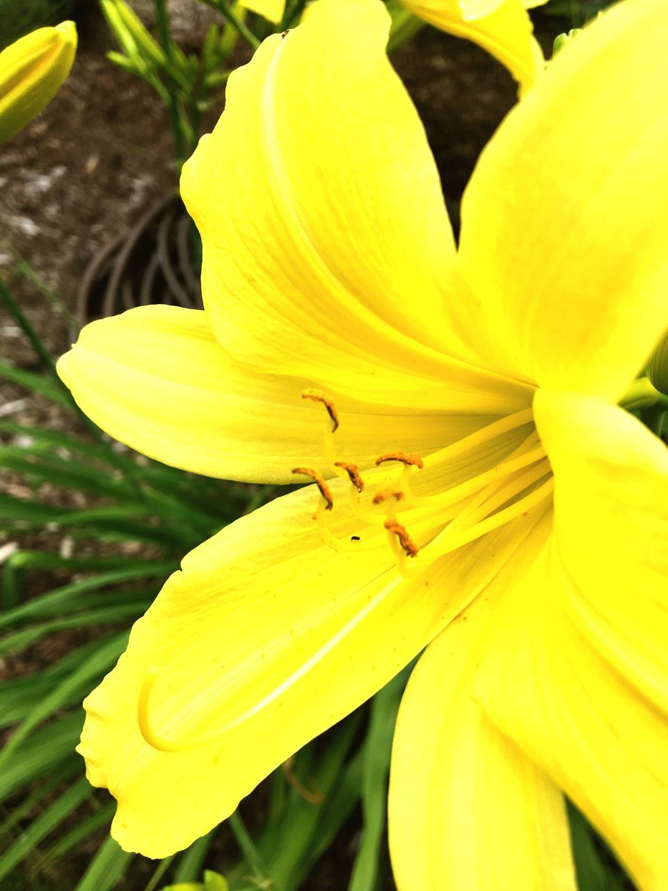 petal, yellow, flower, nature, flower head, beauty in nature, freshness, no people, growth, fragility, outdoors, close-up, day, plant, day lily, blooming, animal themes