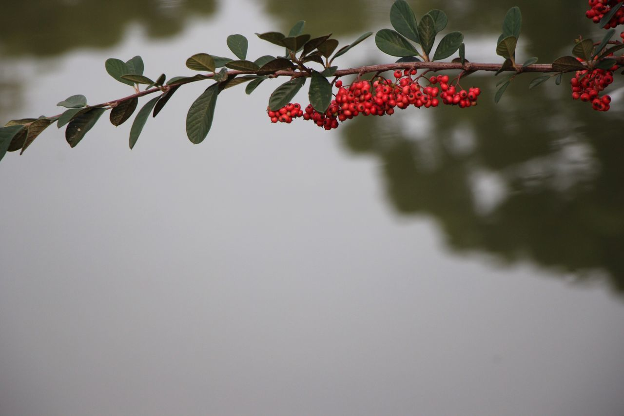 red, growth, plant, fruit, leaf, nature, outdoors, no people, beauty in nature, water, day, tree, close-up, freshness, branch, food, sky