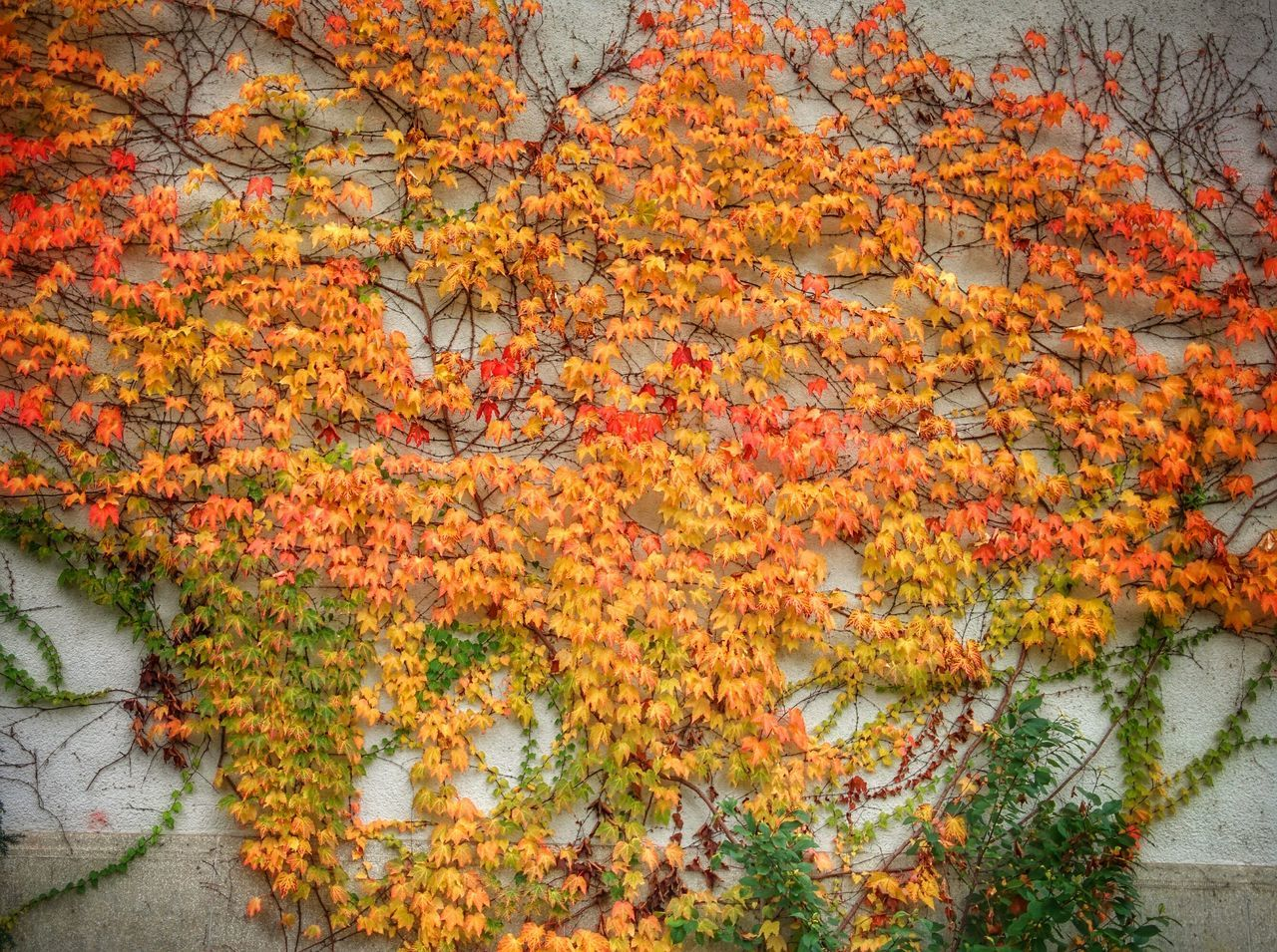 Efeu Autumn Plants Colorful