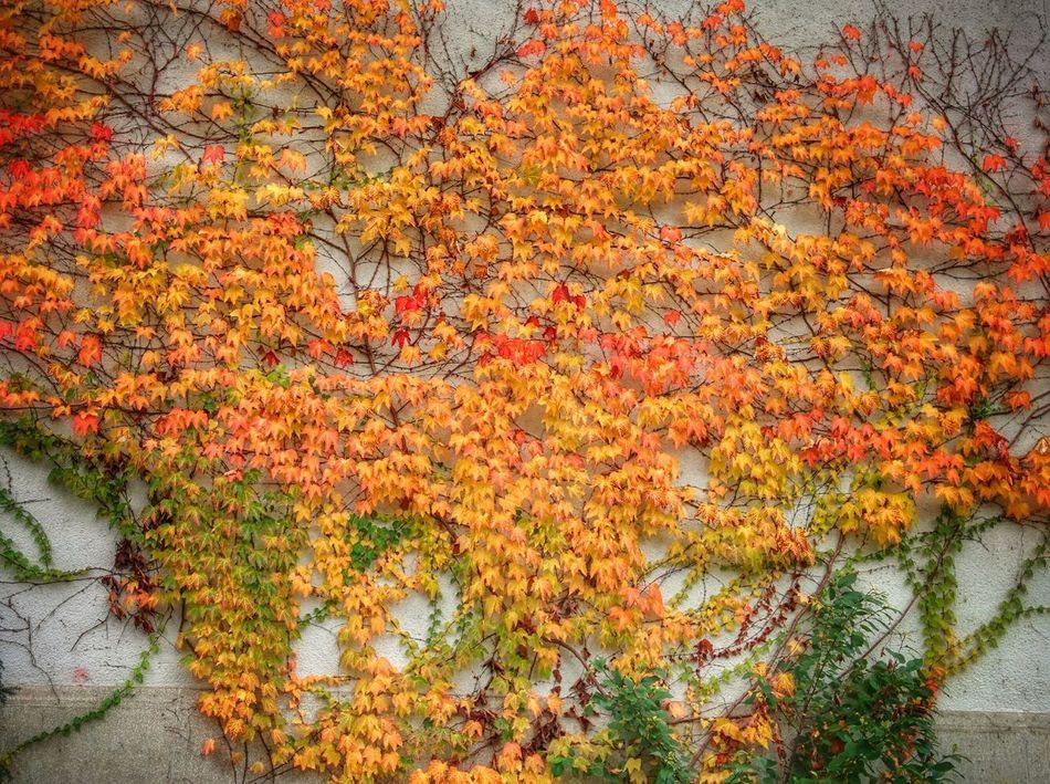 Efeu Autumn Plants Colorful